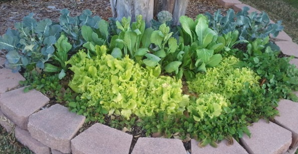 One of the side gardens with four different kinds of lettuce in front of the broc.